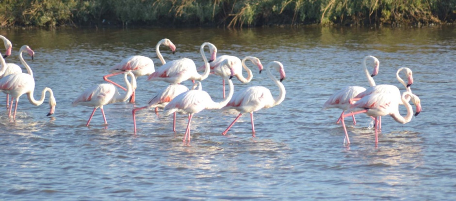 flamants roses, S'ena Arrubia